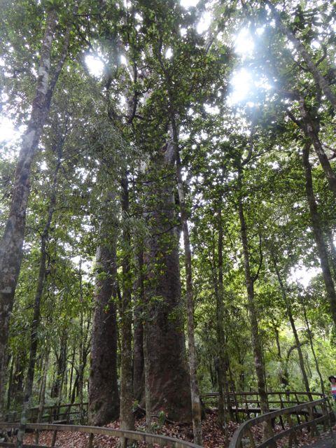 4 Sisters - Kauri Bäume im Waipoua Forest
